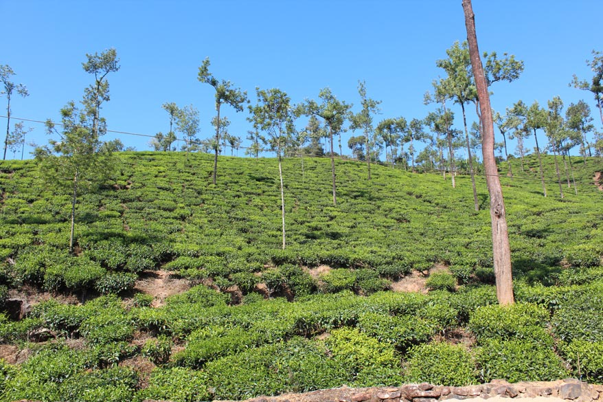 Tea Gardens on the way to Hornadu. Loved my yatra there. Great drive thru tea gardens and coffee estates. Had very good darshan, thought I was in a hill station and lovely food served in the dining hall.``.