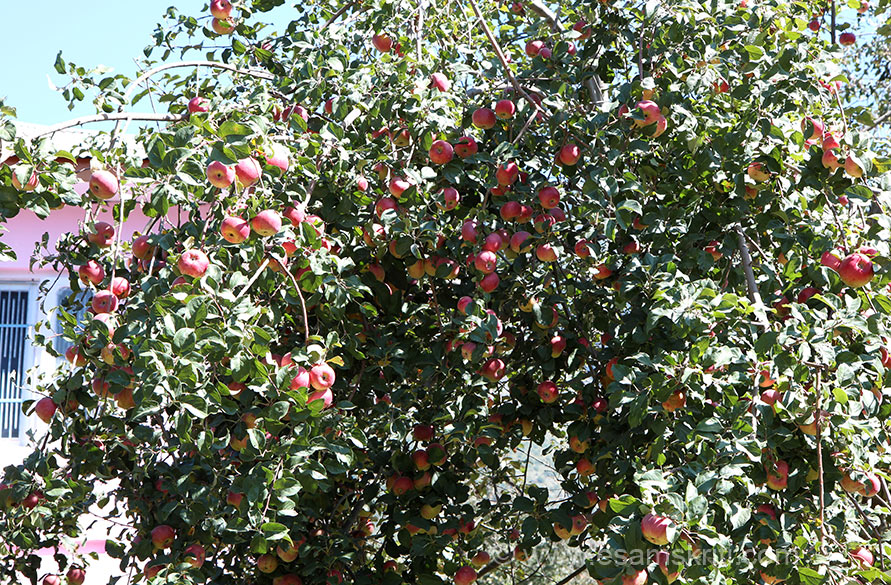 Apple tree in the garden of a private home.