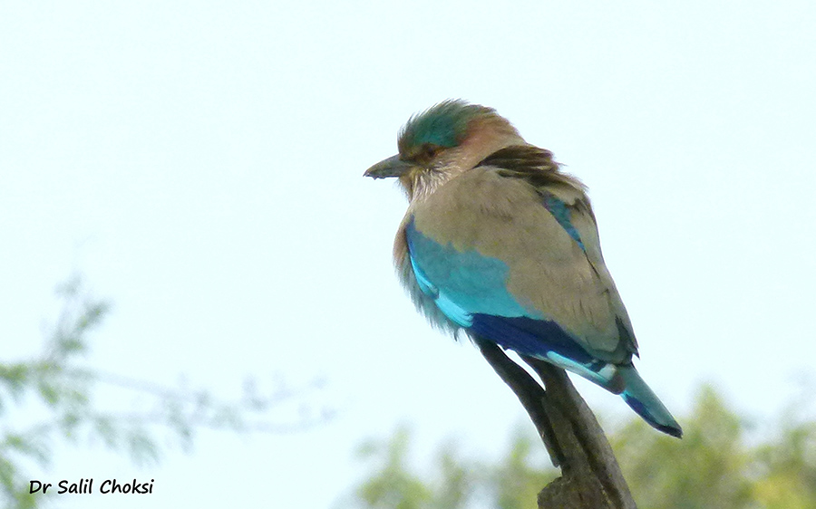 "You see Indian Roller. To see pics of Aerial View from Leh flight by Dr Choksi  <a href=""http://www.esamskriti.com/photo-detail/Aerial-view-Leh-flight.aspx"" target=""_blank"">Click here</a>"