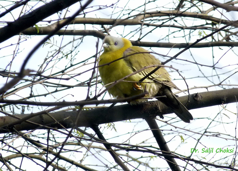 "You see Yellow footed Green Pigeon. To see lovely pics of more birds at sanctuary  <a href=""http://www.birdersinn.com/birding-photo-gallery.html"" target=""_blank"">Click here</a>"