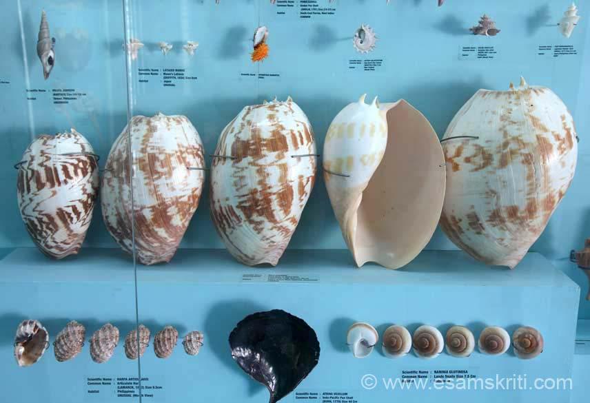 Shell Exhibition Mahabalipuram : Sea shell museum mahabalipuram