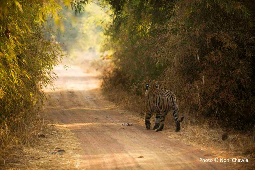 """Leopard Face"" at Tadoba, going for his morning walk. — at Tadoba - Andhari Tiger Reserve. ""Vegetation of Tadoba forest is of Southern tropical dry deciduous type which is spread on around 626 sq. km. """