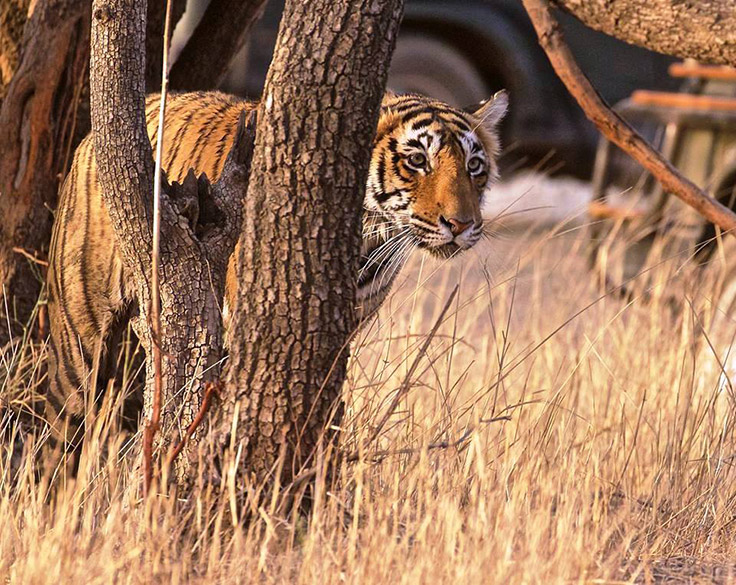 Tiger in a thoughtful mood, hiding behind a tree guess to see what is happening at a distance.