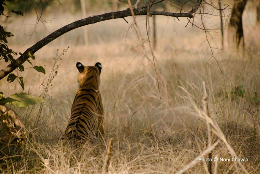 "P2, the tigress. — at Tadoba - Andhari Tiger Reserve. ""Its name ``Tadoba`` is derived from the name of God ""Tadoba"" or ""Taru"" which is praised by local tribal people, whereas ""Andhari"" is derived from name of Andhari river."""