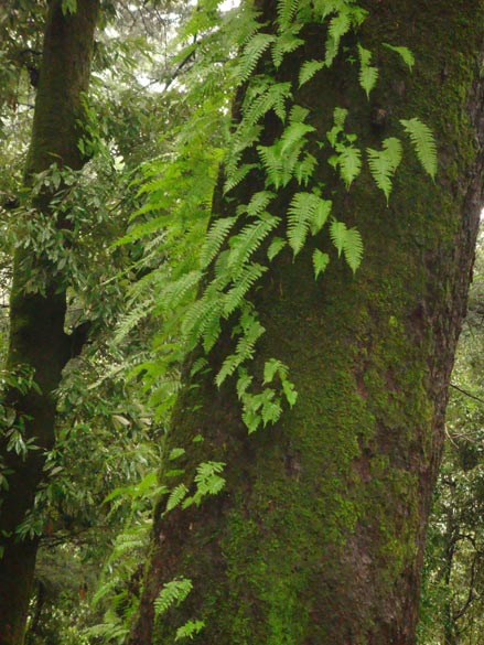 Lush greenery all around - the ferns grow off the moss on the bark of a Deodar.