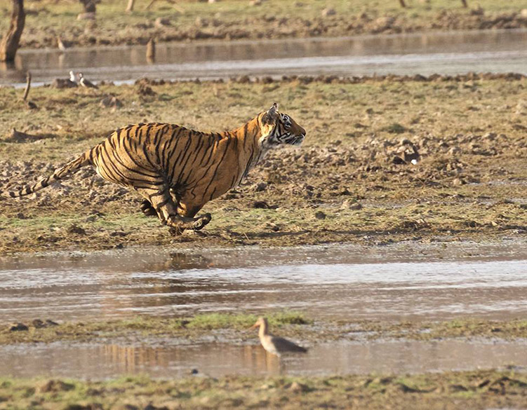 Wonder what the tiger is trying here.