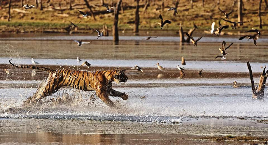 Tiger runs into the water - birds fly away.