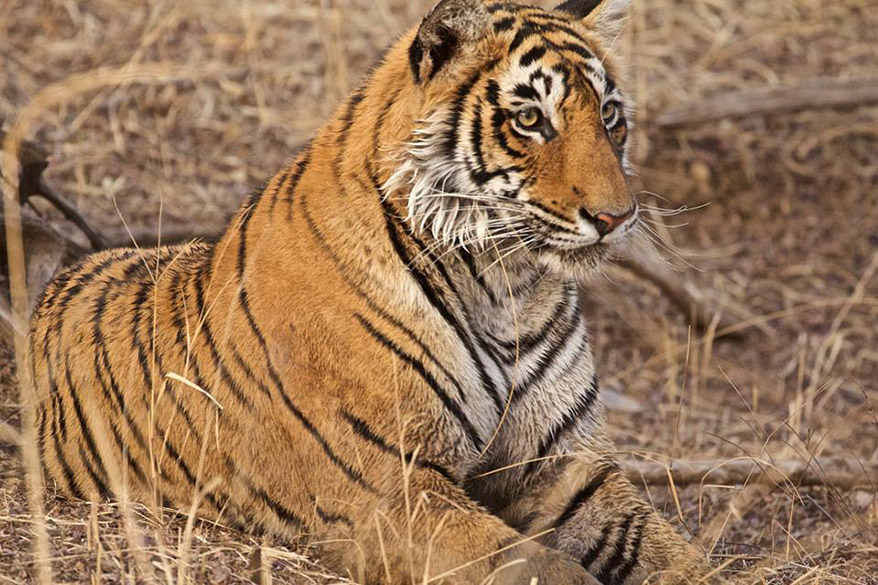 "Another great close up pic. To see pics of Tadoba National Park  <a href=""http://www.esamskriti.com/photo-detail/Tadoba-National-Park.aspx"" target=""_blank"">Click here</a>"