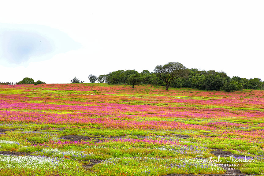 KAAS Plateau of Flowers Satara