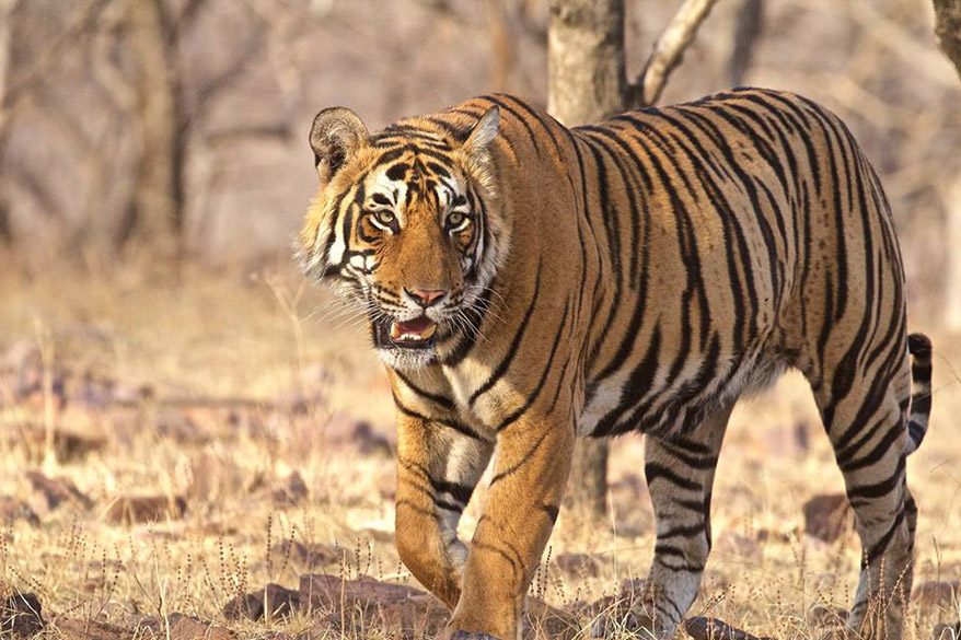 Raring to go, aggressive tiger. Captions by sanjeev nayyar. To know all about the Ranthambore National Park 