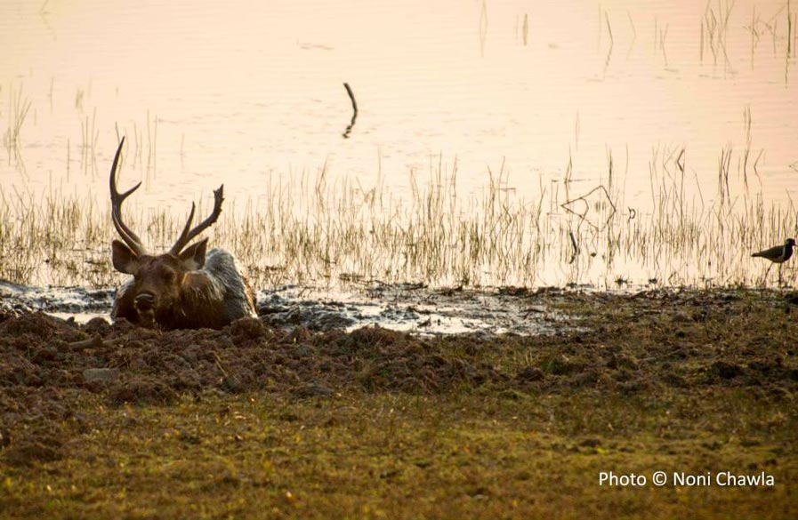 "A sambhar stag having a mud bath! — at Tadoba - Andhari Tiger Reserve. To know about Tadoba National Park<a href="" http://tadoba-national-park.com/ "" target=""_blank"">Click here</a>"