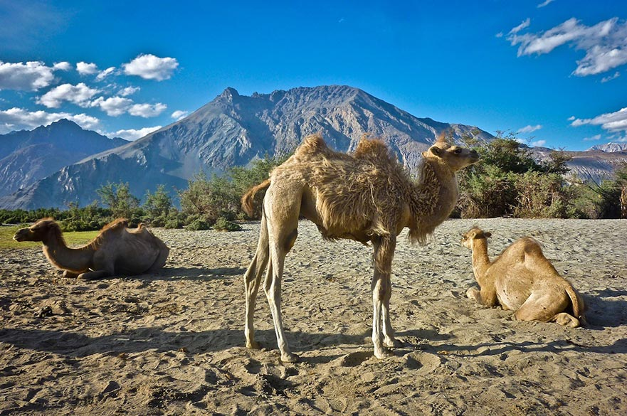 The Ships of Nubra Valley: While taking an evening stroll in the Hunder area of Nubra Valley with my friends, three double-humped Bactrian camels, suddenly appeared together in front of us as if they were a family. Away from the bustling tourists, they seemed at ease, moving at a slow and timeless pace that characterizes Ladakh. Ever patient and uniquely adapted to the extreme climate of the region, the Bactrian camels are a rare species found here alone, attracting popular interest.