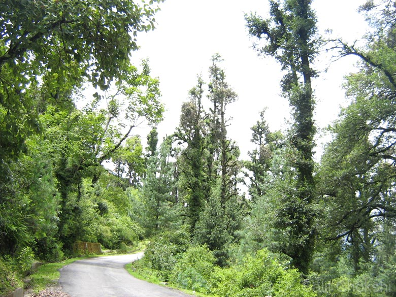 Oak lined road to Auli. The total core area of the biosphere consisits of of 712.12 Sq. Km. and it comprises two National Parks of international repute. The First and the foremost is the Nanda Devi 