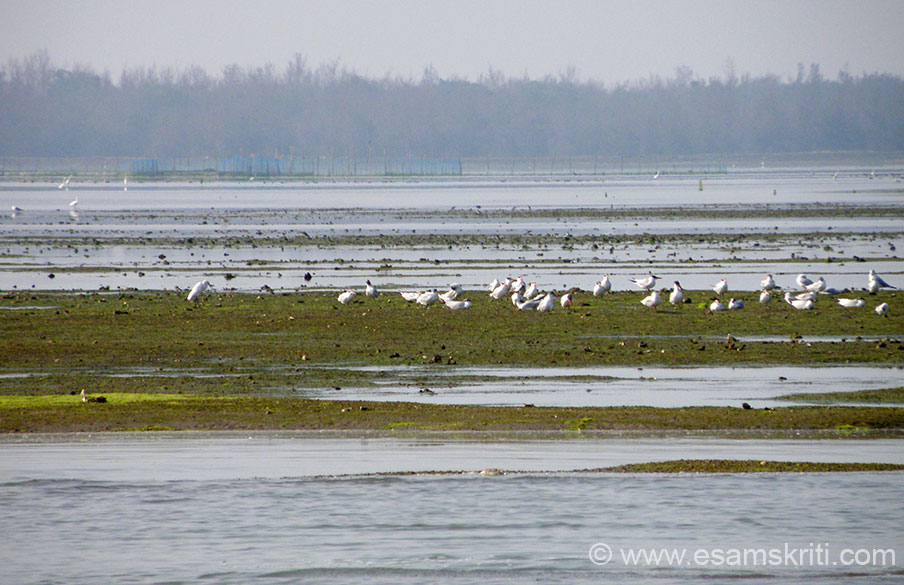 Chilika attracts birds from far and wide. U see some. ``The water spread area of Chilika varies between 1165 to 906 sq.km during the monsoon and summer respectively. A 32 km long, narrow, outer channel connects the main lagoon to the Bay of Bengal.``