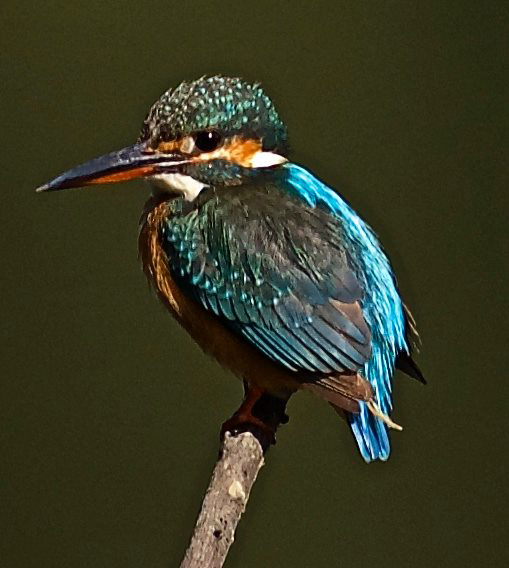 Commonly seen Kingfisher. Thanks to Vijay Mallya kingfisher is a bad name today.