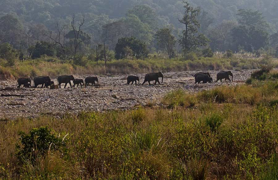 Herd of elephants and their young calves crossing a dried up river.