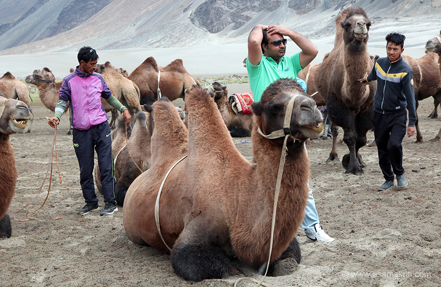 Double humped camel at HUNDER.