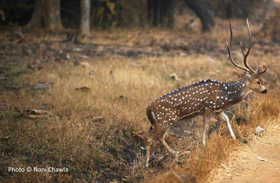 "A cheetal (spotted deer) stag. — at Tadoba - Andhari Tiger Reserve. ""Major part of this forest is thrived in hilly area; it covers the Chimur Hills, and Andhari sanctuary covers Moharali & Kolsa ranges."""