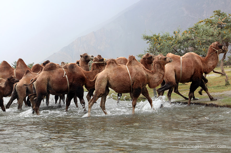 They come in a herd about 3.15 ish and cross the stream. Rate is Rs 200/ for a 15 minute drive. Am not too fond of camel riding but just said come all the way, let me do it.