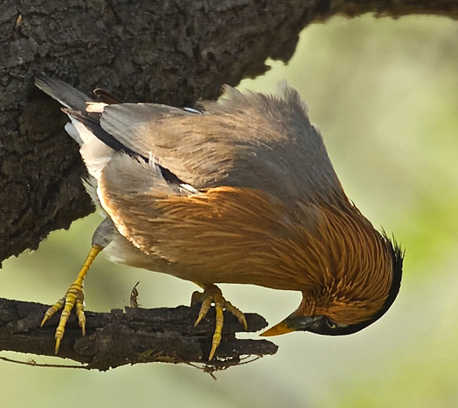"Brahminy Starling is the name of this bird. The area was declared a national park on 10 March 1982, and accepted as a World Heritage Site in December 1985.``. To know more  <a href=""http://www.thewildlifeofindia.com/bharatpur-bird-sanctuary.html"" target=""_blank"">Click here</a>"