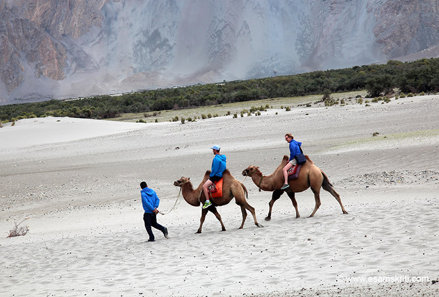Foreigners off for a camel ride. Weather was super. Lots of places to stay in Nubra Valley. I was there for about 5 hours but can easily spend 2 days. Worth it. About 75 to 100 kms ahead is Turtuk which India captured from Pakistan in the 1971 war.