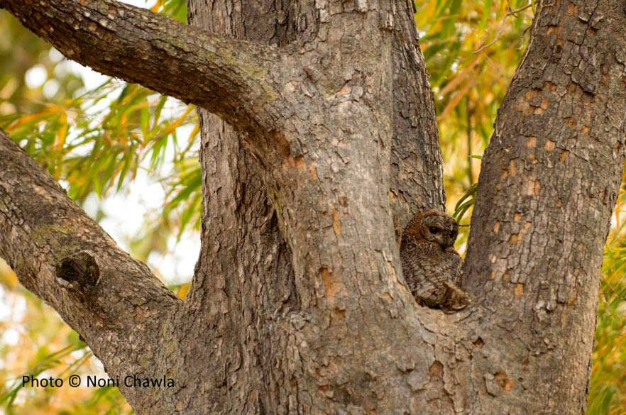 Wood owl, beautifully camouflaged. — at Tadoba - Andhari Tiger Reserve