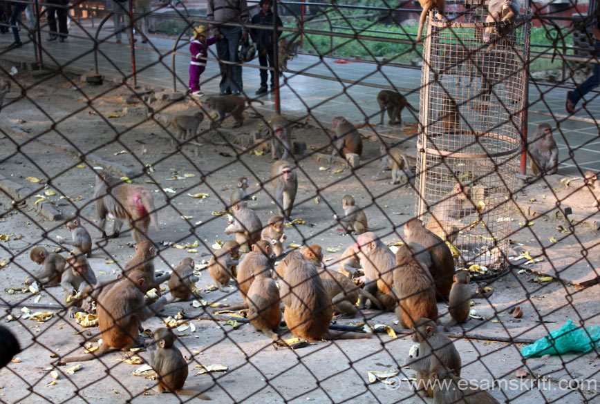 Just next to the entrance are huge number of monkeys. The devotees of the Lord Hanuman offer Prasad (desi ghee ke basan ke ladoo).