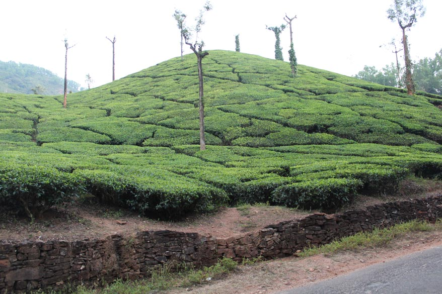 Drove thru many tea gardens like this one ie just off the road.