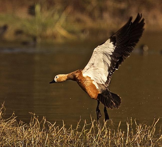 Bird name Rudy Shelduck.