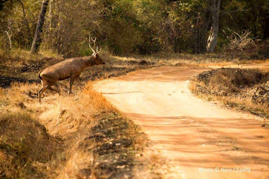 Sambhar stag — at Tadoba - Andhari Tiger Reserve.