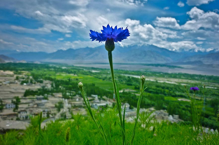 Lone Flower at Diskit Monastery