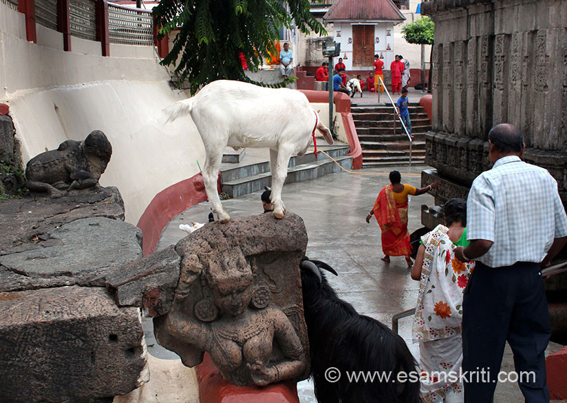 """This is probably the only temple I have seen where goat, sheep move freely all around the temple. To read 16 secrets of the Temple<a href="""" http://daily.bhaskar.com/news/JM-16-secrets-of-kamakhya-temple-no-one-knows-4478043-PHO.html?seq=3"""" target=""""_blank"""">Click here</a>"""