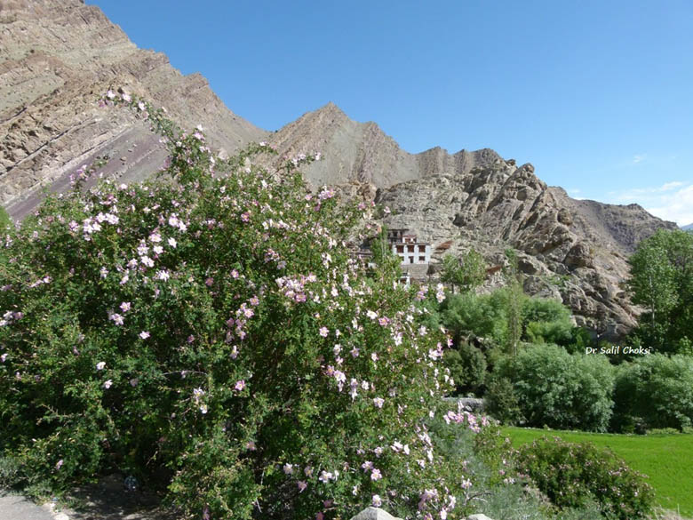 Wild roses abound everywhere in Ladakh - from roadsides to impossibly steep cliffsides.