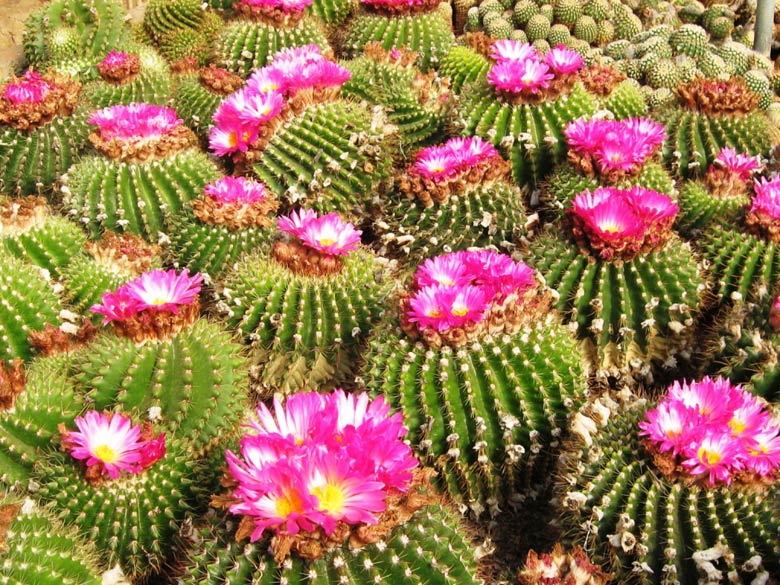 We never knew that Cactus comes in so many beautiful sizes, shapes, & colours, until our visit to Pineview - what a riot of colours it was.These pink cactuses were an extraordinary visual delight
