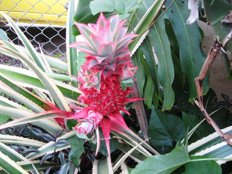 This is a rare variety of Red Pineapple Cactus from Central America. It is believed that the essence of this cactus helps to release anger and frustration