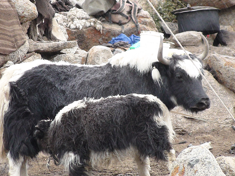 NAK ( a female Yak) with her baby.