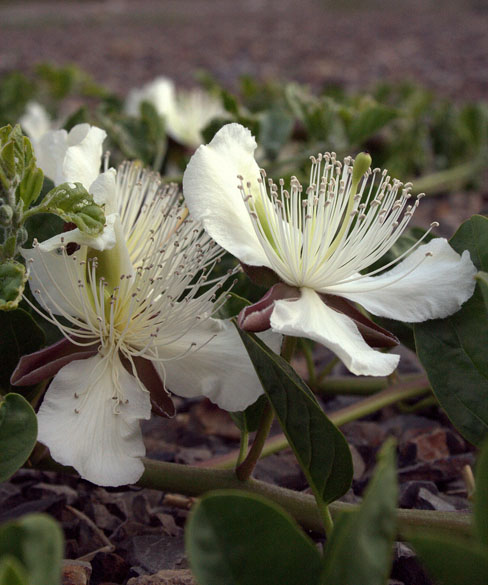 A flower famously known as Brahma Kamal, Tabo, Spiti valley