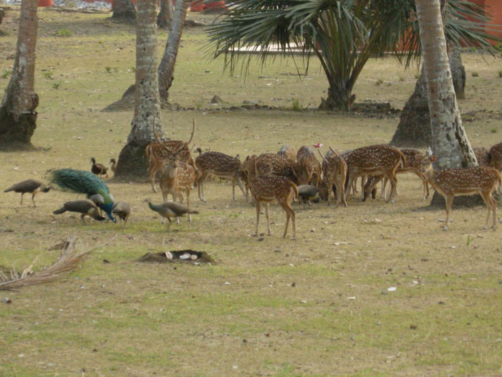 Spotted deer (Cheetal) & Peacock families feel at home on Ross Island
