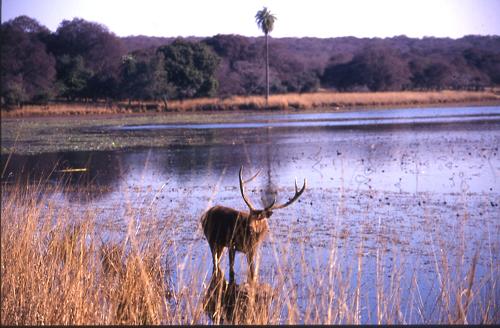 Sambar (type of deer).