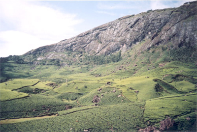 Tea Gardens at Munnar