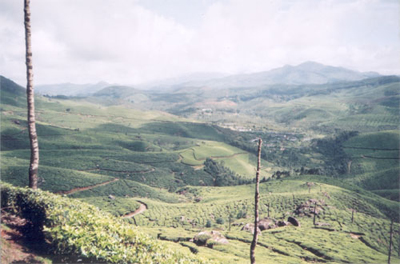 TATA Tea Gardens at Munnar