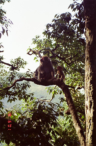 Two monkeys for your viewing, clicked in Dalhousie inserted here so that you can see the temple snaps on one page.