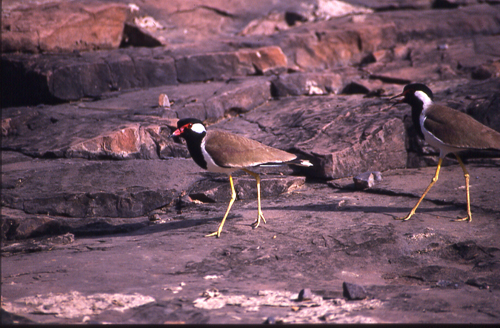 This picture & the next show the Mating process of the Red Wattled Lapwings. The male bird is approaching the female for a proposal to mate.