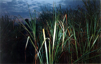 In elephant grass - its taller than the men sitting on top of the elephant
