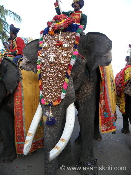 A close up with the royal elephant with ivory tusks.