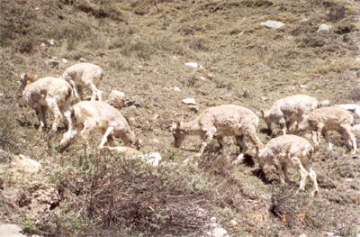 Mountain goats on the way to Gangotri.