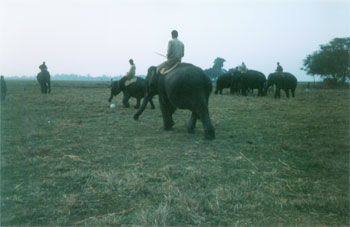 Elephants practising football for the elephant festival at kaziranga