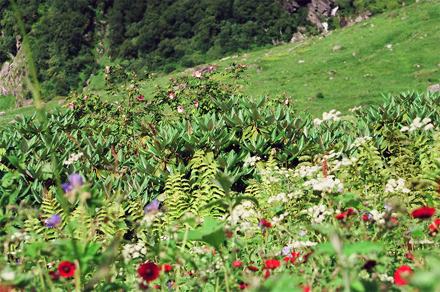 Welcome to the Valley of Flowers - best time to visit end July and August. The Valley is app 15-20 kms long, you can just walk & walk.
