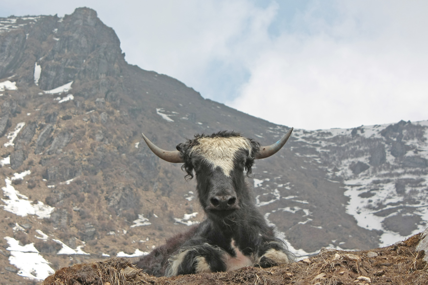 You see a Yak that is used for transportation of goods and people at high altitude. Best time to travel is March to late May, October to Mid-December. Tsomgo is a holy lake worshipped by the Sikkimese.