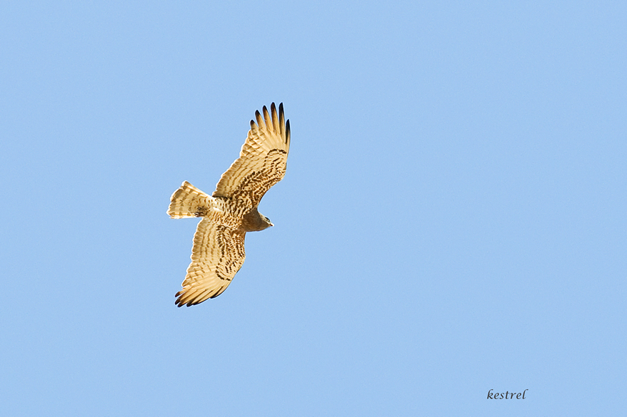 A kestrel in the sky.